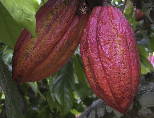 De Ce au Produsele Din Cacao Efect Afrodisiac?