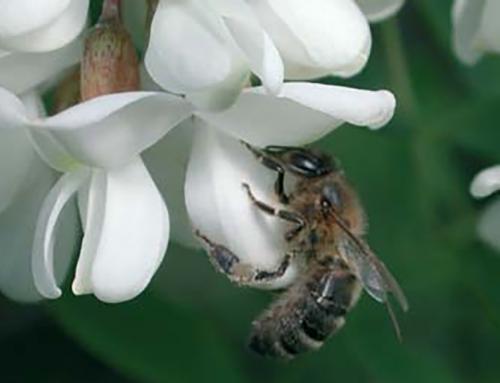 Miere de salcâm beneficii și proprietăți: De ce ar trebui să introduci mierea de salcâm în dieta ta?